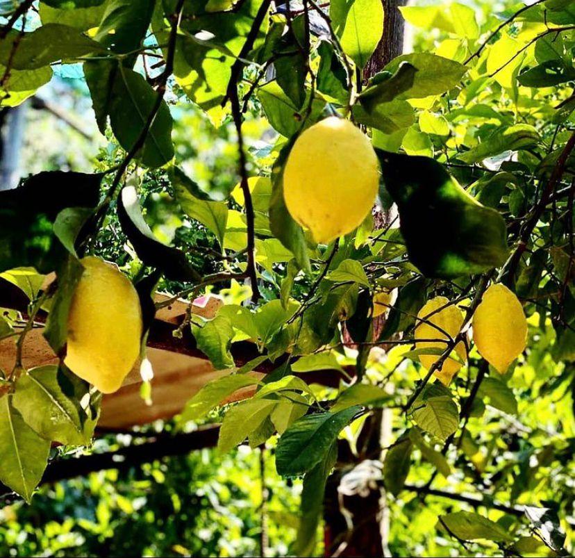 Albero limoni di sorrento